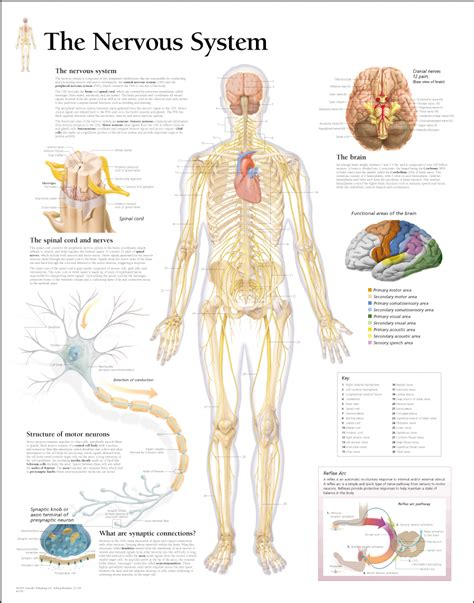 Cd E Book The Nerve image gallery human nervous system