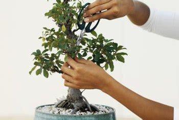bonsai  avocado plant home guides sf gate