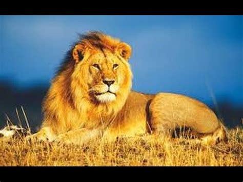 imagenes medicas amado de leon significado de sue 241 os con leones youtube