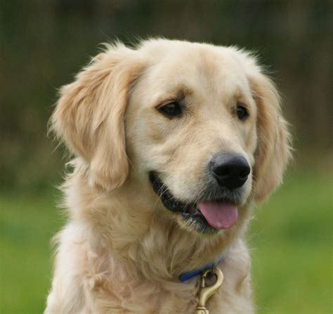 trained golden retriever sale professionally trained golden retriever staffordshire pets4homes