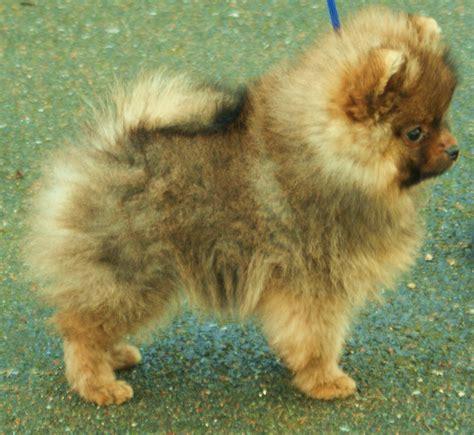 pomeranian breed standard breed standard manatek reta pomeranians breeds picture