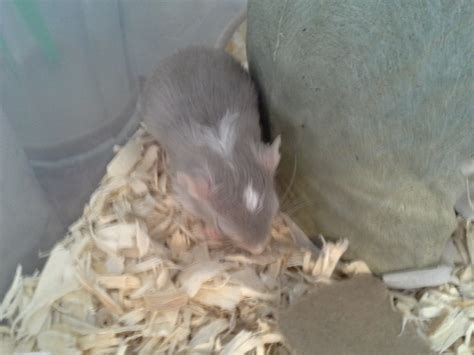 acting lethargic gerbil acting not lethargic tired the gerbil forum