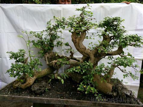 Serut Serut 175 serut 11 jual bonsai murah pohon tanaman indonesia asia