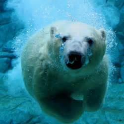 Bear facts 4 the polar bear edition shocking truths