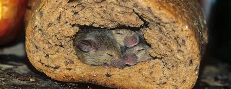 how to get rid of mice in house how to get rid of black ants in kitchen how to deter mice uk flea in house gnats