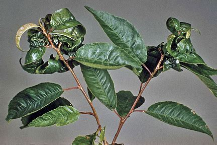 cherry tree blight u k cherry blackfly rhs gardening