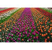Field Of Flowers Free Photo  ISO Republic