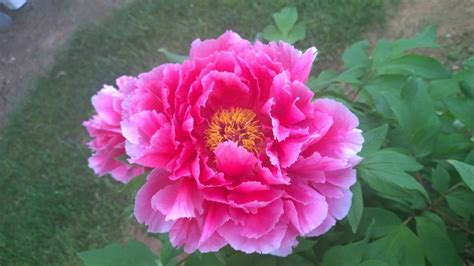 how long do flowers last peonies forum how long do your tree peonies flowers last