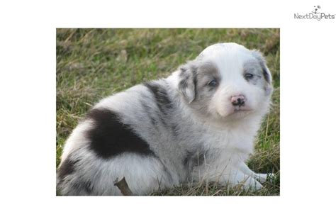 blue merle collie puppies for sale pedigree blue merle border collie puppies for sale