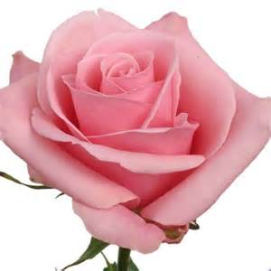 Rose Edible Flowers - rose high bonita rosa cut flowers sunflora