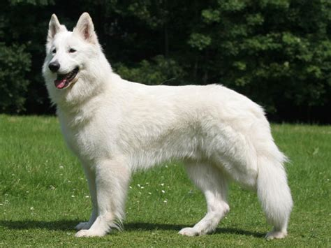 berger blanc suisse puppies berger blanc suisse chien et chiot white swiss shepherd berger blanc