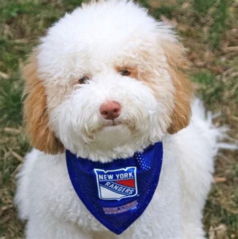 mini labradoodles nj meet the pup cup pups msgnetworks
