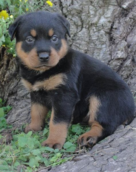 purebred german rottweiler puppies for sale near me portland oregon rottweiler puppies breeds picture