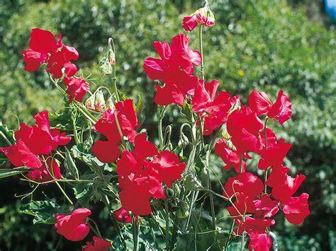 fiore pisello odoroso pisello odoroso lathyrus odoratus giardinaggio mobi