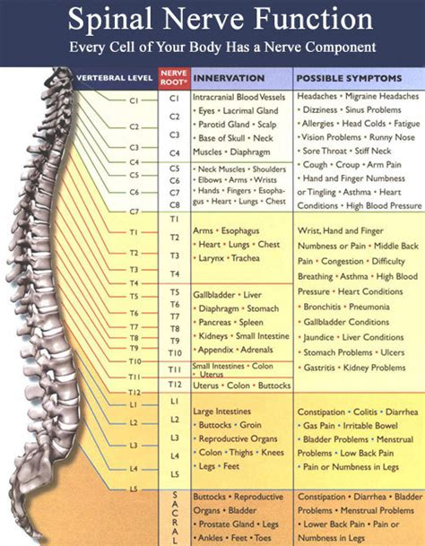diagram of spine and nerves 10 best images of vertebrae and nerves diagram thoracic