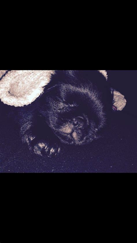 fluffy pug breed fluffy black pug puppy for sale morecambe lancashire pets4homes