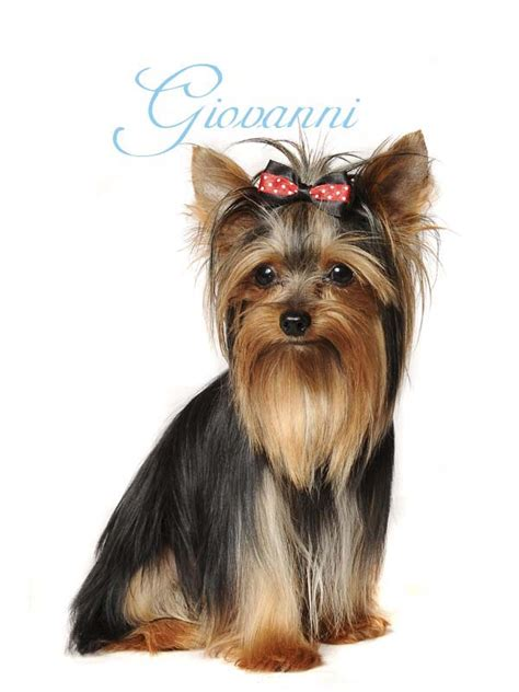 leeuwkloof yorkies list of names searching for the boy name breeds picture