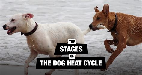 heat cycle how to if a was successful dogs breed sierramichelsslettvet
