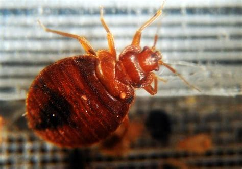 orkin bed bugs orkin releases annual list of top 50 cities infested by