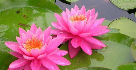 ninfea fiore ninfea la pianta acquatica tutto in 1