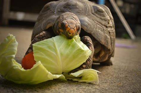 tartarughe alimentazione alimentazione delle tartarughe di terra consigli per una