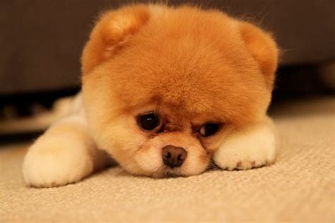 puppy boo meet boo the cutest pomeranian damn cool pictures