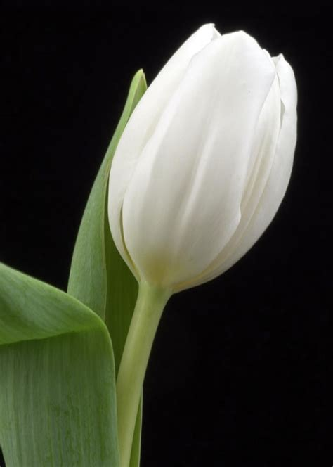 tulipano linguaggio dei fiori tulipano significato fiori the knownledge