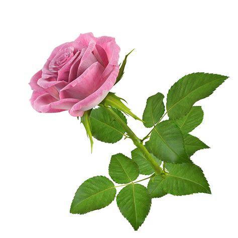 imagenes en png de rosas gifs de flores fondos de pantalla y mucho m 225 s p 225 gina 2