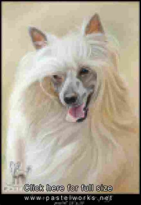 crested powder puff yorkie mix crested chihuahua mix for sale car interior design