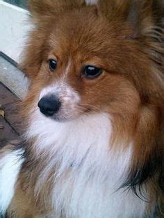 shetland sheepdog pomeranian mix i could a sheltie mix even a small one if she weren t toooo i how