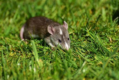 des rats dans le jardin de certains marseillais nos