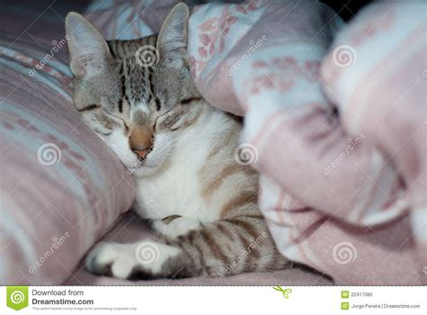 kitten in bed kitten sleeping in bed royalty free stock photo image