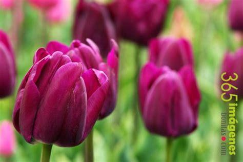 Fotos De Jardines De Flores #6: El-tulipan.jpg