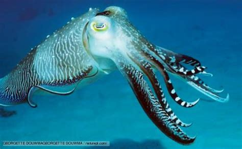 10 Facts about Cuttlefish   Fact File