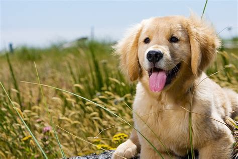 golden retriever puppy exercise feeding a golden retriever for optimum health the golden retriever network