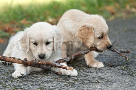 golden retriever biting two puppies golden retriever to biting branches stock photo colourbox