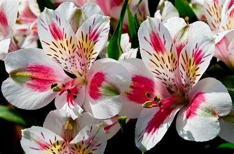 alstroemeria colors flower homes alstroemeria flowers