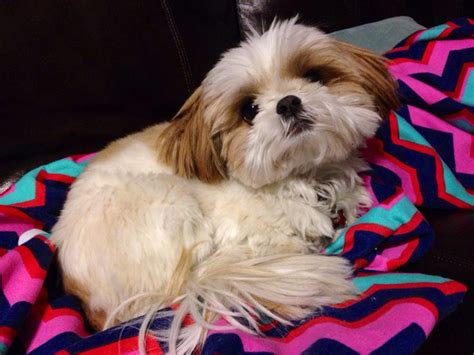 lazy shih tzu 59 best images about shih tzu on earning money haircuts and my birthday