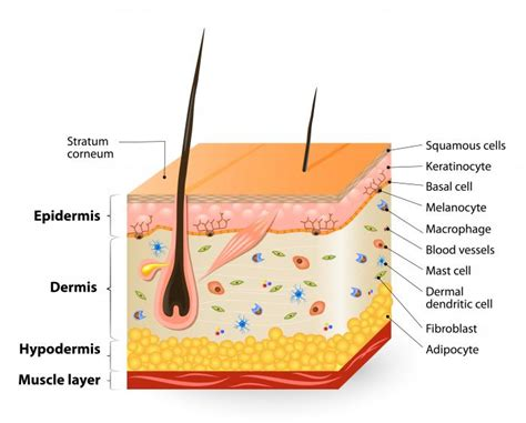 cross section skin what is epidermolysis bullosa medical news today