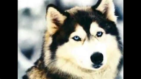 imagenes de animales lobos 2 lobo de nieve animales hermosos youtube