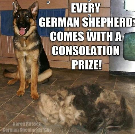 Why Do German Shepherds Shed So Much by The German Shepherd German Shepherd Quotes Sayings