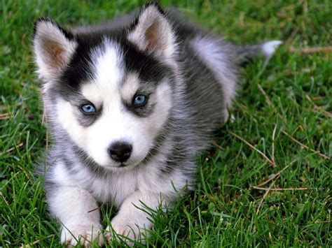 puppies husky siberian husky and caring