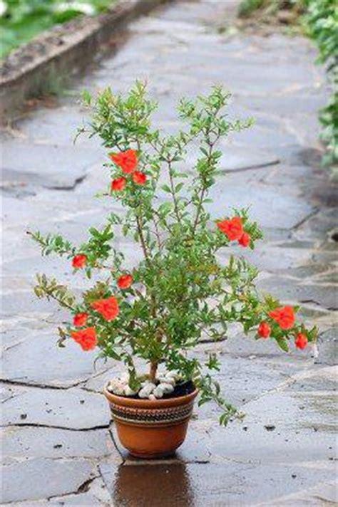 Comment Planter Un Grenadier by Grenadier En Pot Plantation Vari 233 T 233 S Culture Bio