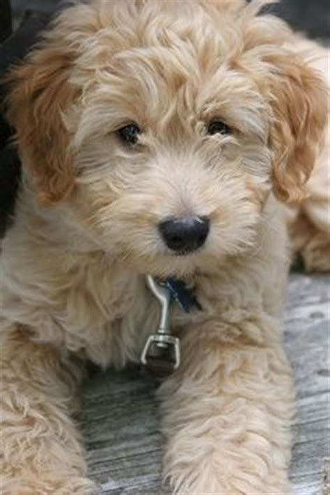 mini ozzy doodle types of goldendoodle haircuts search
