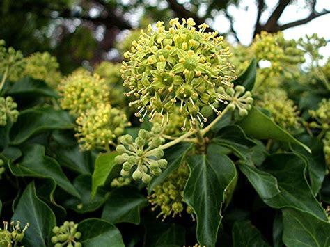 edera fiore coltivare l edera ricanti come coltivare l edera