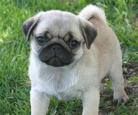 pictures of baby pugs for sale pugs puppies for sale wallpaper