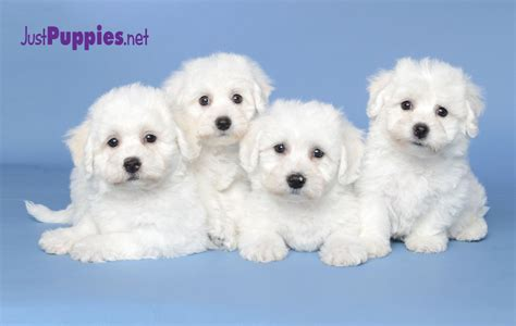just puppies orlando fl b ichon frise 4 682 699