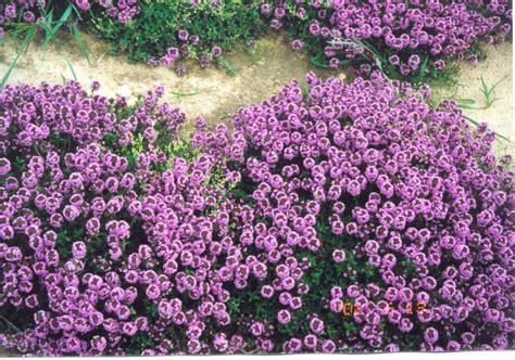 piante tappezzanti perenni fiorite le piante tappezzanti amici in giardino