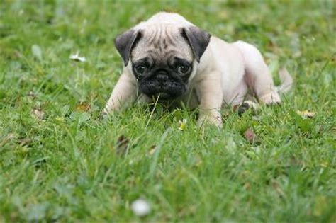 what to feed my pug how often do i feed my pug puppy pets