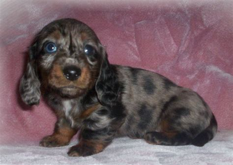 dachshund puppies ma dachshund poodle mix puppies picture